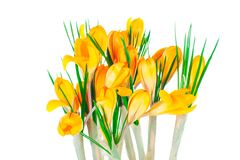 Yellow spring crocuses Royalty Free Stock Photos