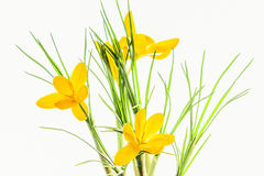 Yellow spring crocuses backlit, close up Stock Images