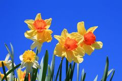 Yellow spring daffodil flowers Royalty Free Stock Photo