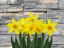 Yellow spring daffodil flowers with stone background Royalty Free Stock Image