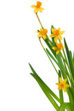 Yellow spring daffodils. Narcisses against white background Stock Images