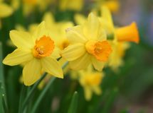 Yellow Spring Daffodils. Blooming in Indiana royalty free stock image