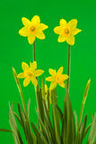 Yellow Spring Daffodils on Green Background Royalty Free Stock Photo
