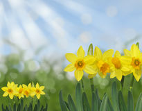 Yellow spring daffodils with green grass and blue sky abstract bokeh background Royalty Free Stock Images