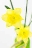 Yellow spring daffodils in vase Stock Photo
