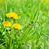 Yellow spring dandelion flowers. Art beautiful yellow spring dandelion flowers background royalty free stock images