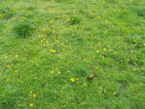 Yellow spring dandelion in a meadow with green grass Stock Photo