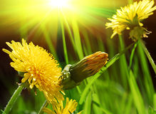 Yellow spring dandelions. And the sun rays Royalty Free Stock Images