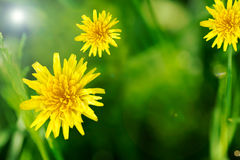 Yellow spring dandelions Royalty Free Stock Images