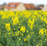 Yellow spring field-colza Stock Photo