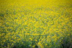 Yellow spring fields with selective focus Royalty Free Stock Images