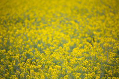 Yellow spring fields with selective focus Royalty Free Stock Photos