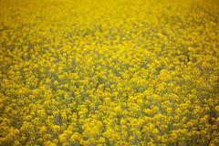 Yellow spring fields with selective focus Stock Images
