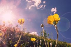 Yellow spring flovers reaching for the sun Stock Photography