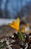 Yellow spring flower. Close-up – wild botanical Crocus flavus species Stock Photography
