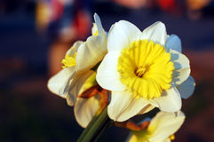 Yellow spring flower Stock Images