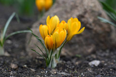 Yellow spring flower crocus in the garden on a stone background. Stock Images