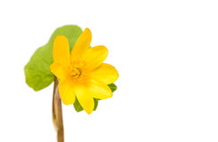 Yellow spring flower isolated Stock Photo