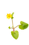 Yellow spring flower isolated Stock Image