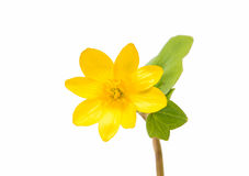 Yellow spring flower isolated Royalty Free Stock Photography