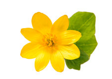 Yellow spring flower isolated Royalty Free Stock Image