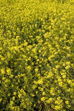 Yellow spring flowers Royalty Free Stock Photo