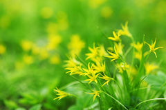 Yellow spring flowers Stock Photo