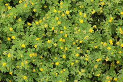 Yellow spring flowers  background Royalty Free Stock Photography