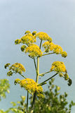 Wild fennel flower Royalty Free Stock Photos