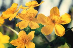 Yellow spring flowers Caltha palustris known as marigold marsh on the shore of the lake in may day closeup royalty free stock photo