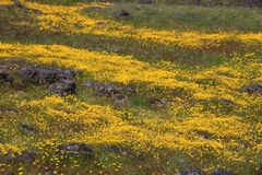 Yellow Spring Flowers Royalty Free Stock Images