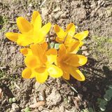 Yellow spring flowers. Yellow crocuses in a garden on a sunny day Royalty Free Stock Photo