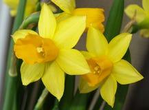 Yellow early daffodilsyellow early daffodils Stock Photo