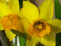 Yellow early daffodilsyellow early daffodils Royalty Free Stock Images