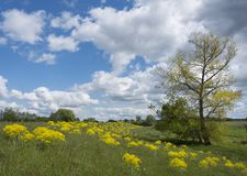 Yellow spring flowers on dike and tree near river lek in dutch province of utrecht in holland. Yellow spring flowers on dike and tree in flood plains of river royalty free stock images