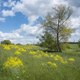 Yellow spring flowers on dike and tree near river lek in dutch province of utrecht in holland. Yellow spring flowers on dike and tree in flood plains of river royalty free stock photos