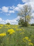 Yellow spring flowers on dike and tree near river lek in dutch province of utrecht in holland. Yellow spring flowers on dike and tree in flood plains of river stock image