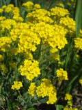 Yellow spring flowers. Draba (mustard) bright yellow flowers Royalty Free Stock Photography