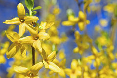 Yellow spring flowers forsythia Stock Photo