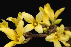 Yellow spring flowers of Forsythia isolated on black background, Stock Photography