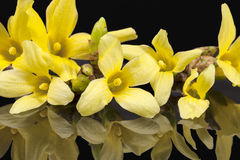 Yellow spring flowers of Forsythia isolated on black background Royalty Free Stock Photography