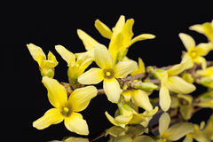 Yellow spring flowers of Forsythia isolated on black background Royalty Free Stock Image