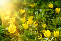 Yellow spring flowers in the garden with bee and sun rays beam, soft focus Royalty Free Stock Photo