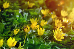 Yellow spring flowers in the garden with bee and sun rays beam, soft focus Royalty Free Stock Photos