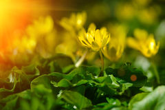 Yellow spring flowers in the garden with sun rays beam, soft focus Stock Photography