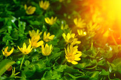 Yellow spring flowers in the garden with sun rays beam, soft focus Royalty Free Stock Image