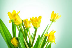 Yellow spring flowers with green leaves Stock Photo