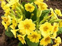 Yellow spring flowers and green leaves of culverkeys or paige Primula Veris or Primrose - Primula vulgaris. Yellow spring flowers and green leaves of culverkeys Royalty Free Stock Photo