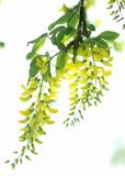 Yellow Spring flowers of a Laburnum tree. Canvas art. Laburnum, sometimes called golden chain or golden rain, is a genus of two species of small trees in the royalty free stock photo