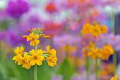 Yellow spring flowers macro Royalty Free Stock Photography